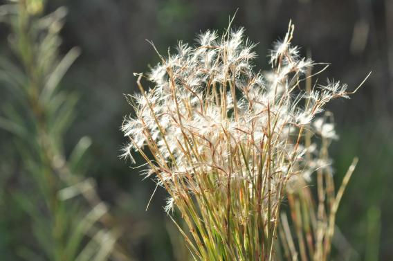 Weed Watch – Little bluestem (Schizachyrium microstachyum)