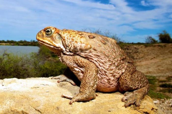 Cane Toad Problems Around Your House, Dam, or Ponds?