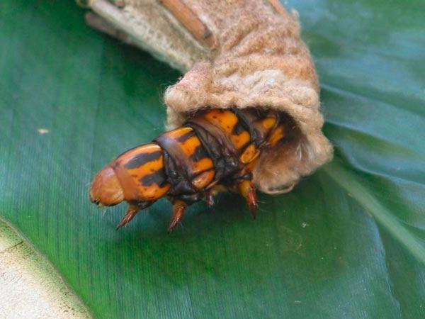 Bio-Control – Saunders' Case Moth Caterpillar (Metura Elongatus)