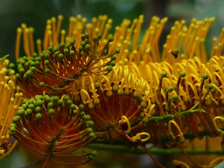 Nursery Managers Plant of the Month – Grevillea robusta
