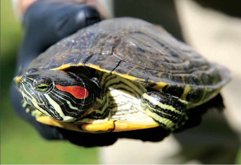 Have you seen these Invasive Turtles in our region?